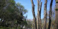 Бургаски дървета преобразени на колове от екипа на кмета-дървосекач №1